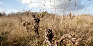 Vigne Muscadet en friche