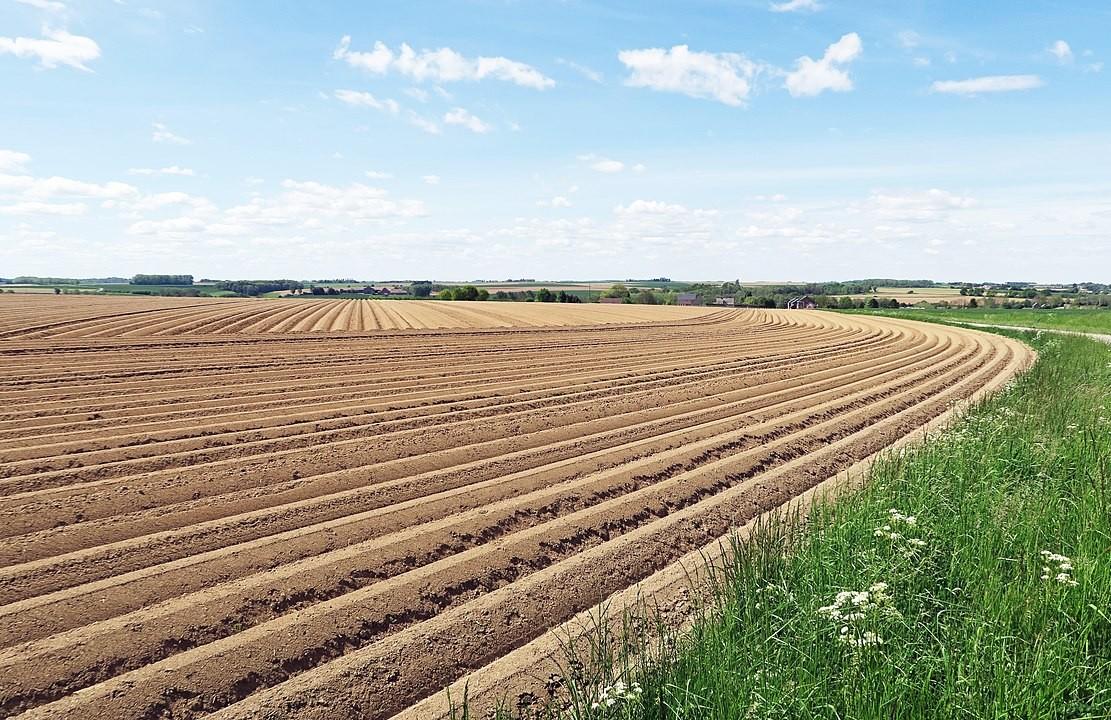 champ de pomme de terre