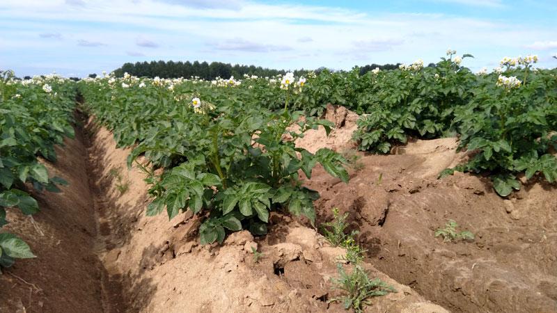 2021-02-champ-pommes-de-terre-01